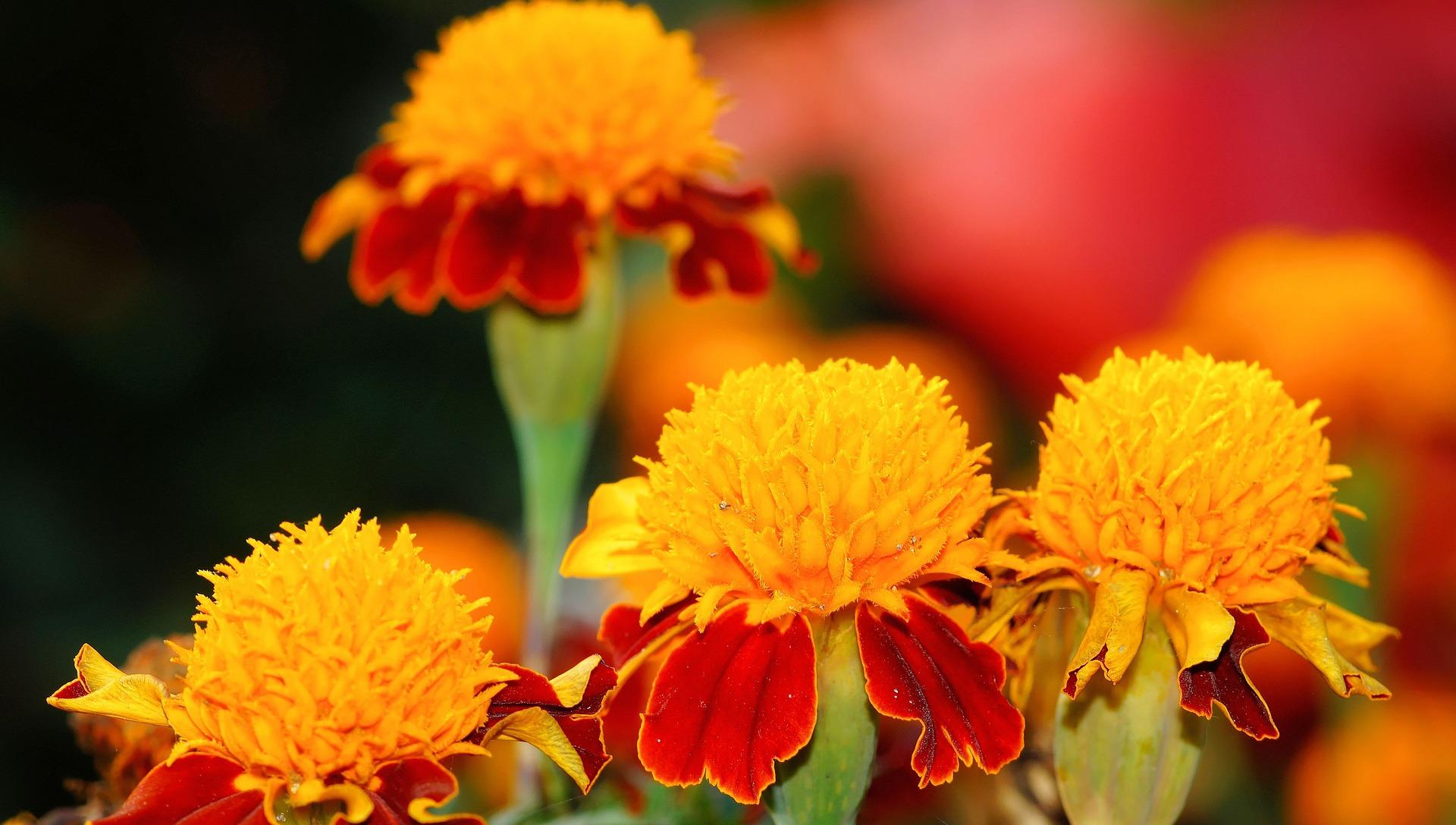 marigold-471912_1920